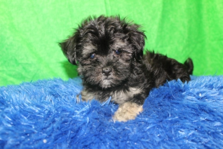 Simba Male CKC Havanese $1750 Ready 7/16 AVAILABLE 2.4 LBS 9W3D
