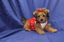 Sunny Female CKC Yorkipoo $1750 Special due to hernia $899 WITH ALL VACCINES INCLUDING RABIES Ready 7/13 AVAILABLE 3.8 LBS 13W2D