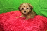 Sunshine Female CKC Yorkipoo $1750 BUT WAIT JUST DISCOUNTED INGUINAL HERNIA $1250 Ready 7/13 AVAILABLE 3.6 LBS 10W4D