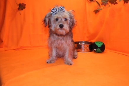 Sunshine Female CKC Yorkipoo $1750 BUT WAIT JUST DISCOUNTED INGUINAL HERNIA $999 WITH ALL VACCINES INCLUDING RABIES Ready 7/13 SOLD MY NEW HOME ORANGE PARK, FL 5.2 LBS 19 WKS OLD