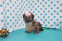 Tilly Female CKC Havapoo $1750 Ready 7/14 SOLD MY NEW HOME CAPE CORAL, FL 1.10 lbs 7wks