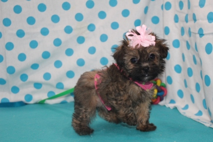 Trixie Female CKC Havapoo $1750 Ready 7/14 SOLD MY NEW HOME PONTE VEDRA BEACH, FL