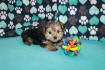 Ashley Wilkes Male CKC Havashire $1750 Ready 7/15 AVAILABLE 1.15lbs 6 wks