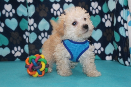 Biscuit Male CKC ,Morkipoo $1750 Ready 7/8 HAS DEPOSIT MY NEW HOME JACKSONVILLE, FL 2.6LBS 7W1D