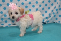 Hannah Female CKC Havapoo $1750 Ready 7/19 SOLD MY NEW HOME MARIETTA, GA 1.12 LBS 6W4D