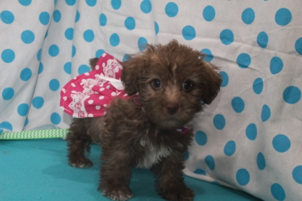 Honey Female CKC ,Morkipoo $1750 Ready 7/14 SOLD MY NEW HOME JACKSONVILLE, FL 2.14LBS 7W1D