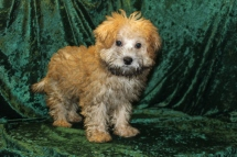 Jammer Male CKC ,Morkipoo $1750 PUPPY SPECIAL $1500 Ready 7/14 MY NEW HOME JACKSONVILLE, FL 5.8 LBS 15W4D