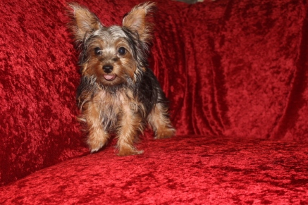 Reeses Male CKC T-cup Yorkie $2000 SPECIAL $1500 WITH ALL VACCINES INCLUDING RABIES Ready 7/25 AVAILABLE 3.2 Lbs 18 weeks Old