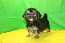 Sammy Male CKC Havanese $1750 Ready 7/16 AVAILABLE 2.11 LBS 9W3D