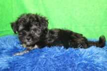 Simba Male CKC Havanese $1750 Ready 7/16 SOLD MY NEW HOME PONTE VEDRA, FL 2.4 LBS 9W3D