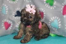 Trixie Female CKC Havapoo $1750 Ready 7/14SOLD MY NEW HOME PONTE VEDRA BEACH, FL