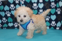 Biscuit Male CKC ,Morkipoo $1750 Ready 7/8 SOLD MY NEW HOME FLEMING ISLAND, FL 2.6LBS 7W1D