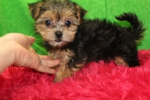 Bonnie Blue Female CKC Havashire $1750 Ready 7/15 SOLD MY NEW HOME HILTON HEAD ISLAND, SC 2.2 LBS 9W3D