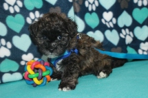 Crackle Male CKC Havanese $1750 Ready 7/13 SOLD MY NEW HOME NAPLES FL 2.9 LBS 7W2D