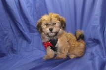 Snap Male CKC Havanese $1750 Ready 7/13 AVAILABLE 4.8 lbs 12W4D