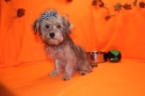 Sunshine Female CKC Yorkipoo $1750 BUT WAIT JUST DISCOUNTED INGUINAL HERNIA $750 WITH ALL VACCINES INCLUDING RABIES Ready 7/13 SOLD MY NEW HOME ORANGE PARK, FL 5.2 LBS 19 WKS OLD