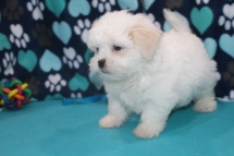 Turbo Male CKC Havashu $1750 Ready 7/6 SOLD MY NEW HOME ORLANDO, FL 3.7 LBS 8W1D