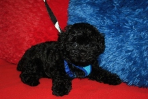 Halo Male CKC Maltipoo $1750 BUT WAIT PUPPY SPECIAL $1500 Ready 6/24 HAS DEPOSIT MY NEW HOME JACKSONVILLE, FL 7W2D 3.3LBS