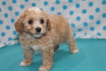 Howy Male CKC Havapoo $1750 Ready 7/14 SOLD MY NEW HOME SPRINGFIELD, TX 2.6 LBS 6W4D