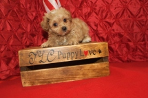 Justin Male CKC Havapoo $1750 Ready 7/1 SOLD MY NEW HOME TALLAHASSEE, FL 7 Wks 2.8 lbs