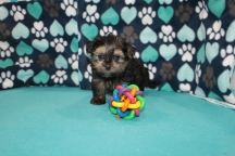 Rhett Butler Male CKC Havashire $1750 Ready 7/15 SOLD MY NEW HOME HILTON HEAD, SC 1.15lbs 6 wks
