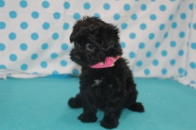 Tess Female CKC Havapoo $1750 Ready 7/14 SOLD MY NEW HOME MELBOURNE, FL 2.9 LBS 7 WKS