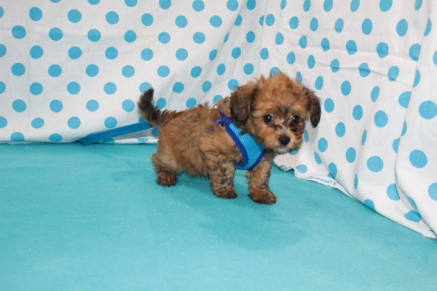 Toby Male CKC Havapoo $1750 Ready 7/14 SOLD MY NEW NAME IS GAINESVILLE, FL 2.3 LBS 7 WKS