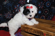 Heaven Kiss Female CKC Maltipoo $1750 Ready 6/24th HAS DEPOSIT MY NEW HOME SLOVAKIA 7W2D 2.12LBS