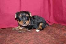 Lady Bug Female CKC T-Cup Yorkie Ready 6/8 $1750 AVAILABLE 4W5D 1.7lbs