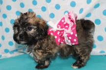 Piglet Female CKC Shihpoo $1750 Ready 7/17 SOLD MY NEW HOME CENTRAL, SC 2.12 LBS 7 WKS