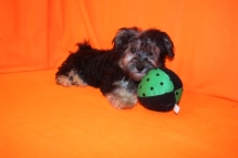 Sammy Male CKC Havanese $1750 BUT WAIT PUPPY SPECIAL $1500 Ready 7/16 AVAILABLE 5.3 lbs 17W4D Old