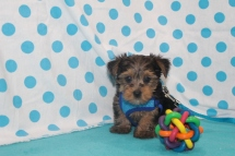 Stitch Male CKC Morkie $1750 Ready SOLD MY NEW HOME JACKSONVILLE, FL 7/20 1.12 LBS 6W2D