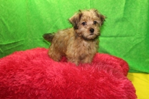 Sunny Female CKC Yorkipoo $1750 Special due to hernia $1250 Ready 7/13 AVAILABLE 2.14 LBS 10W4D