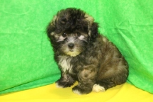 Tigger Male CKC Shihpoo $1750 BUT WAIT SPECIAL $1250 Ready 7/17 SOLD MY NEW HOME WARWICK,, RI 3.10 lbs 9W2D