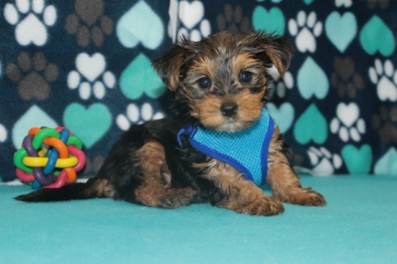 Jumba Male CKC Morkie $1750 Ready 7/20 SOLD MY NEW HOME LOS ANGELES, CA 2.5 LBS 6W2D
