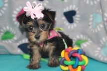 Lilo Female CKC Morkie $1750 Ready 7/20 SOLD MY NEW HOME SUNNYVALE, CA 1.12 LBS 6W2D
