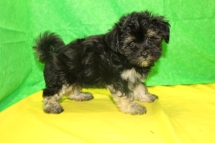 Simba Male CKC Havanese $1750 Ready 7/16 SOLD MY NEW HOME PONTE VEDRA, D 2.4 LBS 9W3D