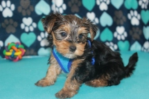 Jumba Male CKC Morkie $1750 Ready 7/20 SOLDMY NEW HOME LOS ANGELES, CA 2.5 LBS 6W2D
