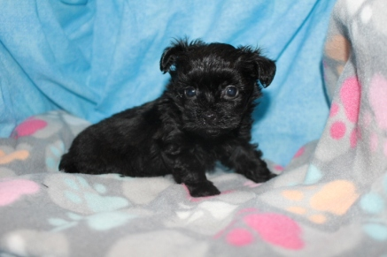 Aladdin Male T-cup CKC Yorkipoo $1750 Ready 8/11 AVAILABLE 1.4 lbs 5W5D