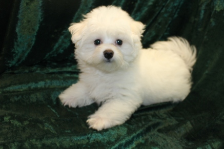 Casper Male CKC Maltese $1750 Ready 7/24 SOLD MY NEW HOME JACKSONVILLE, FL 3.3 LBS 13 WKS OLD