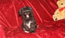 Diego Male CKC Havapoo $1750 BUT WAIT PUPPY SPECIAL $1250 Ready 8/14 AVAILABLE 4.12 LBS 15 weeks old