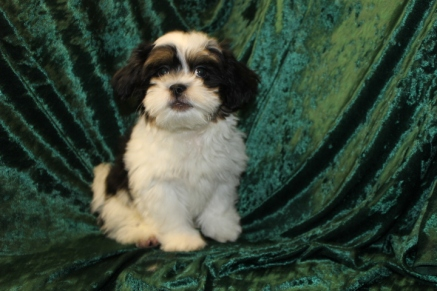 Elvis Presley Male CKC Havanese $1750 Ready 7/19 SOLD MY NEW HOME PONTE VEDRA BEACH, FL 5.9 Lbs 14 Wks old
