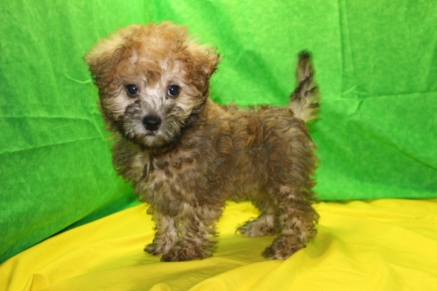 Jammer Male CKC ,Morkipoo $1750 Ready 7/14 3.6 lbs 9W5D