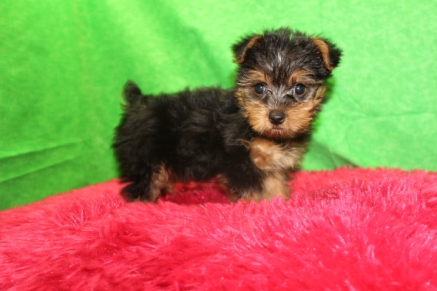 Kit Kat Female T-CUP CKC Yorkie $1750 Ready 7/25 AVAILABLE 1.12 LBS 8 WKS