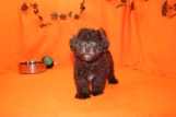 Kobe Male CKC Havapoo $2000 BUT WAIT PUPPY SPECIAL $1750 Ready 8/14 AVAILABLE3.8 lbs 13W4D old