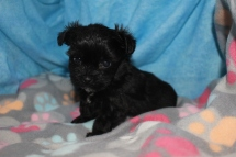 Lumiere Male T-cup CKC Yorkipoo $1750 Ready 8/11 SOLD MY NEW HOME JAX, FL 13.9 oz 5W5D