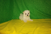 Pearl Female CKC Maltese $1750 Ready 7/24 SOLD MY NEW HOME 1.15 LBS 8 Wks