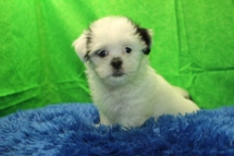 Ringo Starr Male CKC Havanese $1750 Ready 7/19 AVAILABLE 2.7 lbs 9 wks