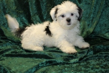 Ringo Starr Male CKC Havanese $1750 BUT WAIT PUPPY SPECIAL $1500 WITH ALL VACCINES INCLUDING RABIES Ready 7/19 SOLD MY NEW HOME IS ST MARYS, GA 4.13 lbs 14 wks