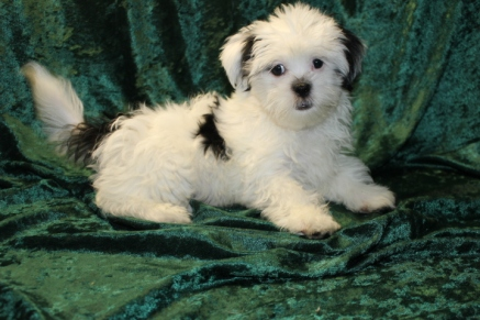 Sold Ringo Starr Adorable Male Ckc Havanese That Will Steal Your